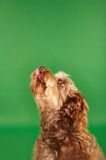 Otterhound Looking Up Stock Photography