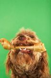 Otterhound With Rawhide Bone Stock Photo