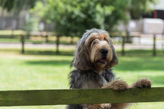 Otterhound standing with paws on fence. Otterhound standing in a field with its paws on to of a wooden fence Stock Images