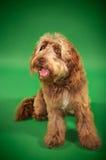 Otterhoundsammanträde Arkivbilder