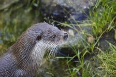 Otterkopf in der Wildnis Tierhintergrund der wild lebenden Tiere Lizenzfreie Stockbilder