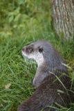 Otterkopf in der Wildnis Tierhintergrund der wild lebenden Tiere Stockfotos