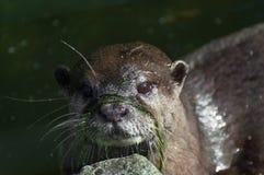 Ottermodell mit hübschem Gesicht stockbild