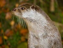 Otterportrait Lizenzfreies Stockbild