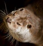 Otterportrait Stockbilder