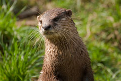 Otterportrait Stockbild