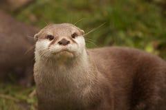 Otterportret Stock Foto