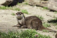 Otterportret Klein aquatisch zoogdier op droog land stock foto's