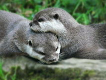 Otters. Two cute otters will blured background Royalty Free Stock Photography