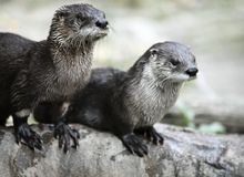 Otters Royalty Free Stock Images