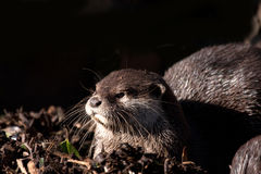 Otters Stock Images