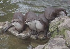 Otters. On rock near water.   live and hunt as a family Stock Photos