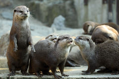 Otters Royalty Free Stock Photos