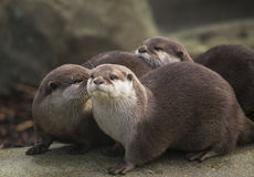 otters Stock Fotografie