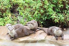 otters Royalty-vrije Stock Afbeeldingen