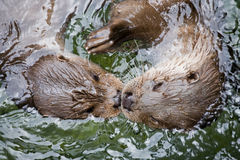 Otters. Two otters swimming face to face in water closeup Stock Photos