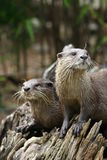 Otters Stock Photography