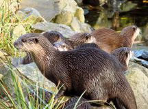 Otters on the bank Royalty Free Stock Photos