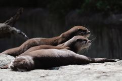 Otters in the Berlin zoo stock photo
