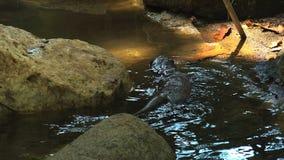Otters die en in een vijverwater spelen zwemmen, 4k, ultra hd stock video