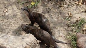 Otters Exploring Stock Photo