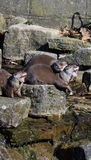 Otters. Family of otters at the edge of the riverbank Royalty Free Stock Photography