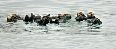 Otters family. Get together in the ocean Royalty Free Stock Image