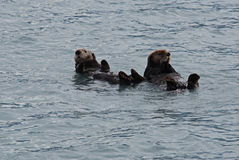 Otters Floating in Resurrection Bay near Seward Alaska Stock Photography