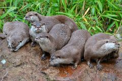 Otters. Group of small clawed otters sitting together Royalty Free Stock Photography