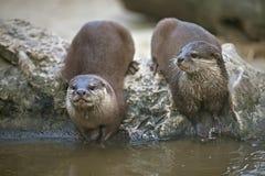 Otters het letten op Stock Foto's