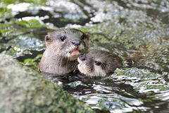 Otters hugging Stock Images
