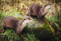 Otters. 2 hungry otters wait for their dinner Royalty Free Stock Image