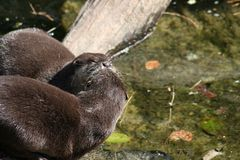 Otters kissing royalty free stock images