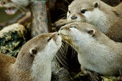 Otters kissing. A pair of otters kissing Royalty Free Stock Image