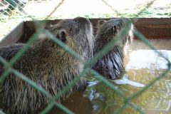 Otters (Latin - Myocastor coypus) in a cage in a water tank stock photos