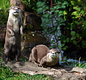 Otters on log. A pair of otters on a log in the woods Stock Images