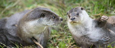 Otters. Lutra lutra in nature Stock Photos