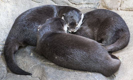Otters napping Stock Photo