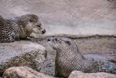 Otters Nose to Nose stock images