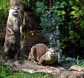 Otters op logboek Stock Afbeeldingen