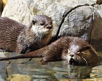 Otters Royalty Free Stock Photo