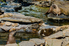 Otters playing in river rocks. Two otters playing in river on rocks Royalty Free Stock Photos