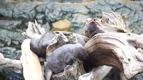Otters playing sleeping together in natural log by the water. Log stock footage