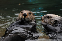 Otters playing in water Stock Image