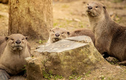 Otters relaxing in a forest Royalty Free Stock Image