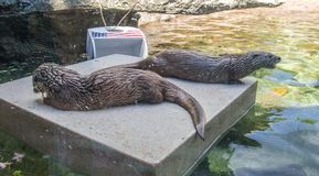 Otters at Grandfather Mountain State Park. Otters rest on a platform at Grandfather Mountain, near Linville, North Carolina Royalty Free Stock Photography