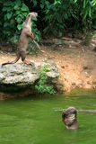 Otters on Riverbank Royalty Free Stock Photography