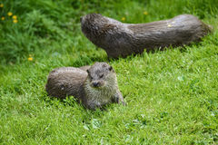 Otters on riverbank in lush green grass of Summer in sunlight Royalty Free Stock Photography