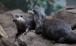 Otters on rocks  together Royalty Free Stock Photography