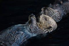 Otters swimming. In dark water Stock Photo